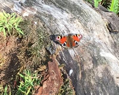 naturpleje-sommerfugl
