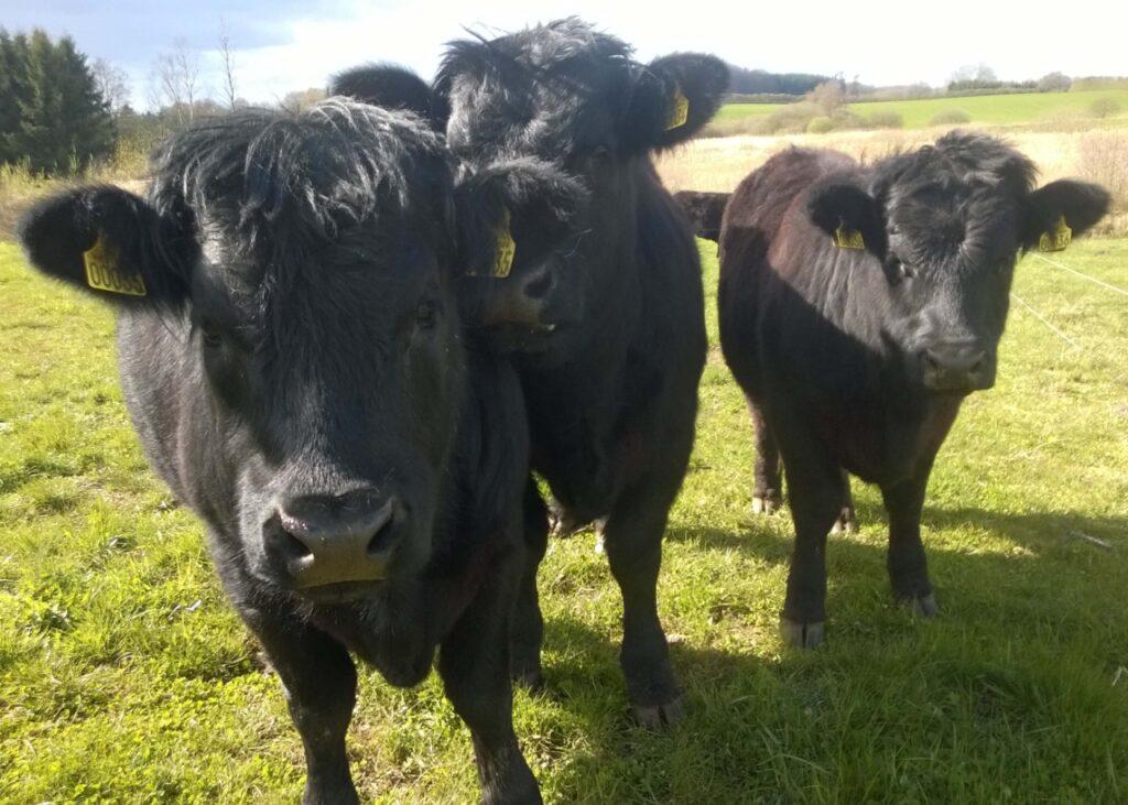 Welsh-Black-kvier